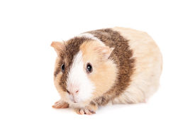 image of gerbil  - Guinea pig baby isolated on white background - JPG