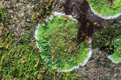 image of lichenes  - Nature background texture of colored Lichen on stone - JPG