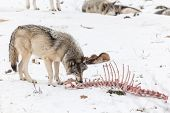 image of horrific  - A lone Grey Wolf in a winter environment  - JPG
