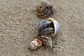 picture of hermit  - Closeup photo of Hermit Crabs on the sand - JPG