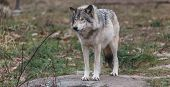 pic of horrific  - A timber wolf in a forest environment  - JPG