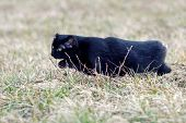 foto of sneak  - A black cat with a damaged ear and no tail sneaking in the grass - JPG