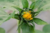 picture of yellow buds  - close up of beautiful yellow sunflower bud - JPG