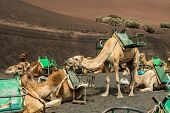 stock photo of canary  - Caravan of camels in the desert on Lanzarote in the Canary Islands - JPG
