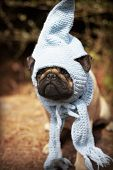 image of gnome  - Beautiful male pug puppy dog sitting on a tree log in the sunshine with a blue scarf and a gnome hat - JPG