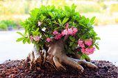 pic of desert-rose  - Beautiful Desert rose or Ping Bignonia in garden - JPG