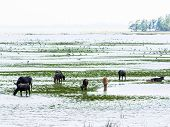 foto of swamps  - Swamp Buffaloes and Birds in Thale Noi Phatthalung Province Thailand - JPG