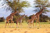 Постер, плакат: Giraffes In Naivasha Park