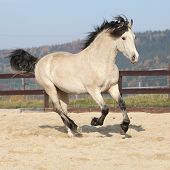 stock photo of arena  - Gorgeous welsh cob running in arena with autumn background