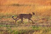 picture of cheetah  - Male cheetah walking in grass and looking for its pray in Masai Mara Kenya - JPG