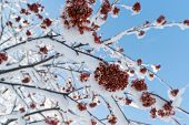 image of rowan berry  - snow - JPG