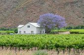 pic of farm-house  - View of a farm house and vineyards in the Hex River Valley - JPG