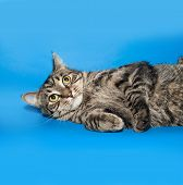 picture of blue tabby  - Tabby nice  cat lying on blue background - JPG