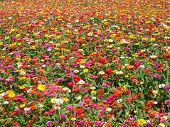 pic of zinnias  - Summer Season Colorful Zinnia Flower Field Background - JPG