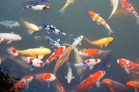 pic of koi fish  - Lot of colorful koi fishes in japanese garden - JPG