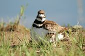 Killdeer Mother