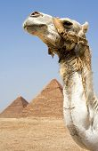 image of burial-vault  - Camel in front of Egyptian pyramids in Giza Egypt - JPG