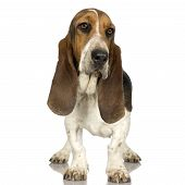 pic of hound dog  - Basset Hound in front of white background - JPG