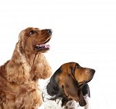Spaniel dog and Basset hound look up, dog profiles poster