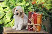 American Cocker Spaniel Puppy With Books
