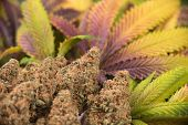 Detail of cannabis buds (green crack strain) with colorful leaves - Medical marijuana background poster