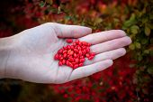 Постер, плакат: Barberry Bush Colorful Floral Red Background Barberry Berries On Bush In Autumn Season Shallow Fo