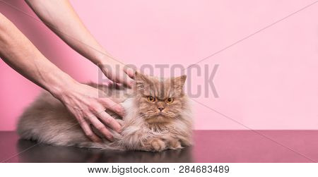poster of Man Strokes A Gray Cat On A Pink Background, A Cat Likes To Stroke It. Man's Hands And Fluffy Pet Ar