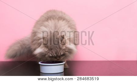 poster of Fluffy Gray Cat Eats Pet Food From A Plate On A Pink Background. Eating Pets. A Cat Eats A Cat Food