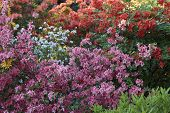 Big Azalea Or Rhododendron In Garden. Season Of Flowering Azaleas (rhododendron) At Botanical Garden poster