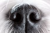 Shih tzu dog nose close-up.