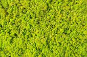 Amazing natural texture of reindeer moss. Decoration made of lichen Cladonia rangiferina. Green moss poster