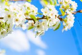 Spring Blossom Background. Japanese Spring Scenics Spring Flowers Spring Background poster