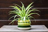 Chlorophytum Comosum (also Known Spider Plant) In A Pot On The Wooden Fence Background poster