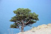 A Lonely Single Green Pine Tree On The White Rocky Surface Of A Steep Cliff On The Rocky Coastline O poster