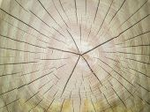 Slice Of Wood Timber Natural Background. Tree Rings Saw Cut Tree Trunk. Piece Of Circular Wood Cross poster