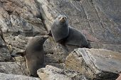 Pair New Zeland New Zealand Fur Seal Long-nosed Fur Seal Relaxing On The Stones. Australasian Fur Se poster