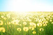 Spring Meadow Flowers On Summer Field Of Dandelion At Sunlight Backdrop Sunny Evening Sky Sun Light. poster