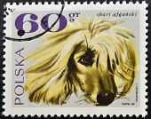 POLAND-CIRCA 1969:A stamp printed in Poland shows image of The Afghan Hound circa 1969.