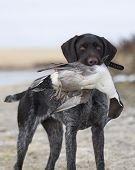 picture of pintail  - Hunting Dog with a mature Drake Pintail - JPG