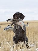 picture of pintail  - Hunting dog with a Pintail in a field of wheat in North Dakota - JPG
