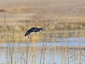 stock photo of gadwall  - Hen Mallard about to land in the decoys - JPG