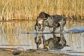 stock photo of pintail  - Hunting dog retrieving a Drake Mallard on a duck hunt - JPG