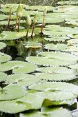 stock photo of hydrophytes  - The Lotus not bloom in the pond - JPG