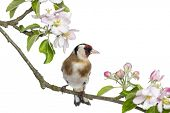 European Goldfinch, carduelis carduelis, perched on a flowering branch, isolated on white