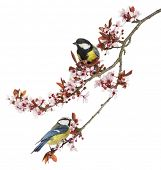 stock photo of great tit  - Great Tit and Blue Tit perched on a blossoming branch - JPG