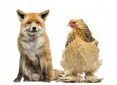 Hen sitting next to a Red fox, Vulpes vulpes, looking at it, isolated on white