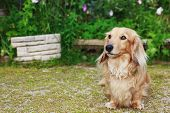 image of long hair dachshund  - Cute Blond Long Haired Dachshund Dog Outside - JPG