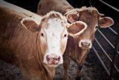 stock photo of moo-cow  - Two Bulls On The Farm - JPG
