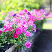 pic of manicured lawn  - Pretty manicured flower garden with colorful azaleas.