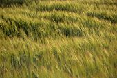 picture of wind blown  - Green and yellow Wheat field blown by wind in summer sunset light for background or texture - JPG